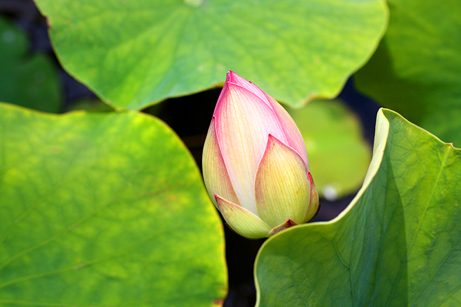 Peaking Lotus